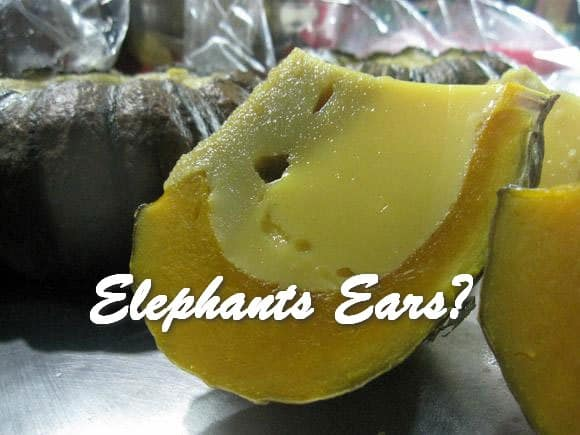TRH Elephants Ears