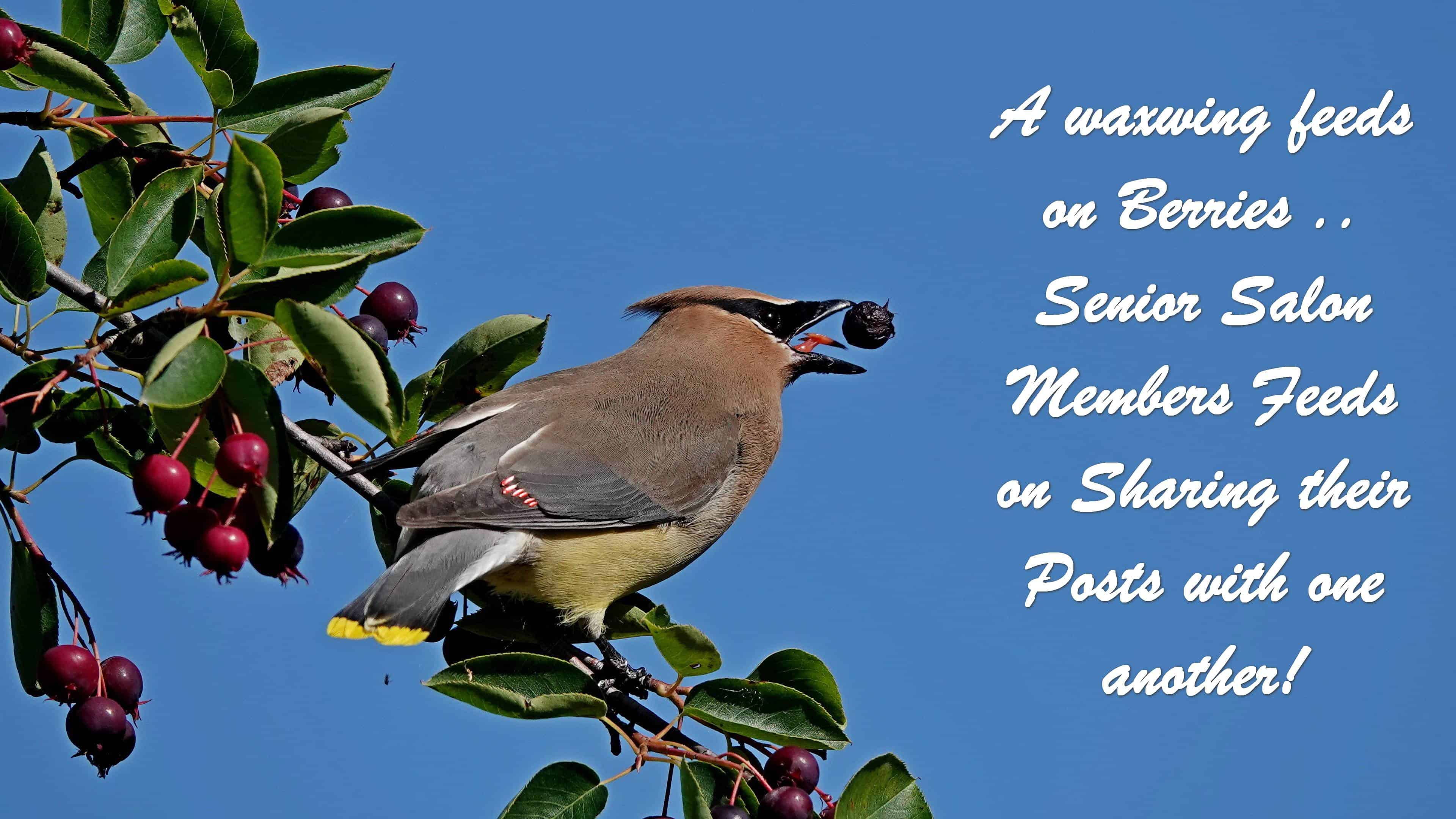 #19 SENIOR SALON 2018 A waxwing feeds on Berries .. Senior Salon Members Feeds on Sharing their Posts with one another!