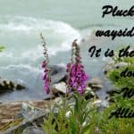 Pluck not the wayside flower; It is the traveler's dower. ~William Allingham
