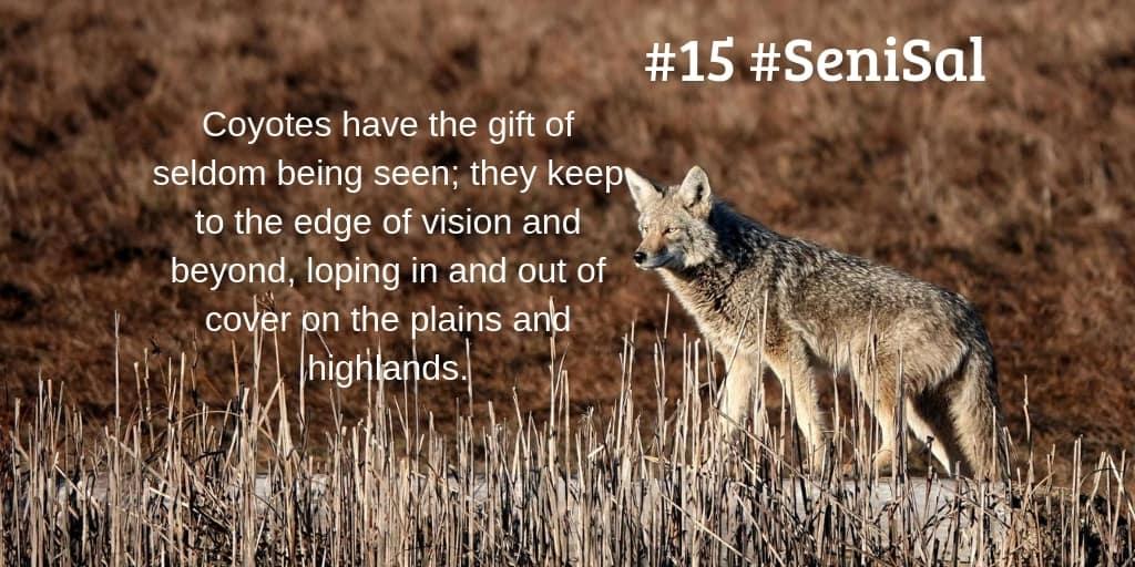 Coyote walking behind reeds