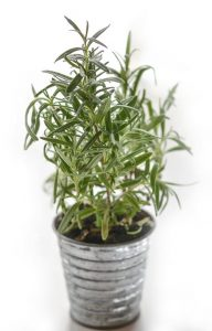 Planter with rosemary