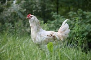 Chicken on Green Grass Field