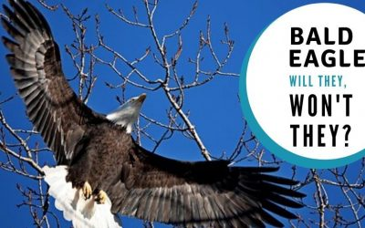 Bald Eagles: will they, won't they?
