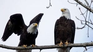 Bald Eagles: will they won't they?y, won't they?