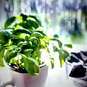 How to plant Basil...